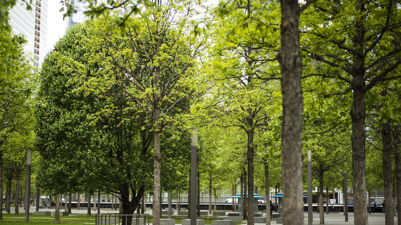 A Callery pear tree known as the Survivor Tree is seen among the Memorial's white oak trees. The Survivor Tree's dark green leaves stand in contrast to the yellow-green leaves of the oaks.