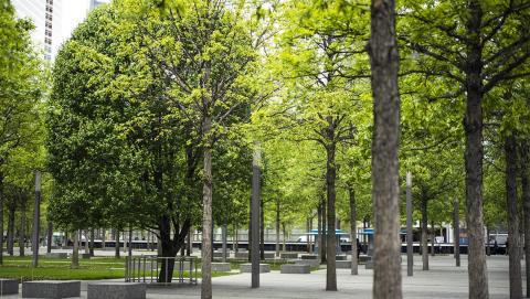 The Survivor Tree stands slightly to the left in this photograph of the Memorial plaza. The tree's dark green leaves are contrasted by the lighter green leaves of the trees on either side of it.